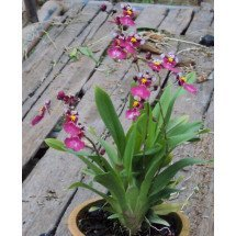Oncidium Kutoo CT-Little Cherry