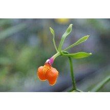 Epidendrum pseudepidendrum