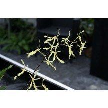 Renanthera citrina