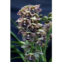 Cymbidium Vogel`s Magic (Medium)