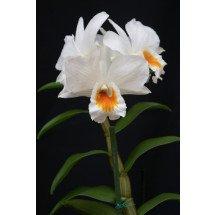 "Dendrobium Formidible ""Ryoma"""