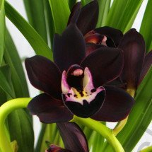 "Cymbidium Kiwi Midnight ""Geyserland"" Big"