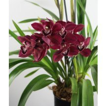 "Cymbidium Lady Fire ""Red Angelica"""