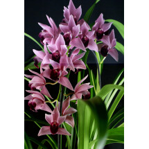 "Cymbidium Devon Wine ""Million Veil"" ""Big XXL Plant"""