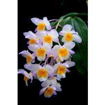 "Dendrobium farmeri ""Pink"""