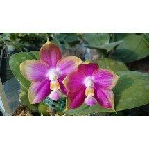 "Phalaenopsis Mituo Reflex Dragon ""Purple-3"""