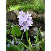 Eichhornia crassipes (Waterhyacinth)