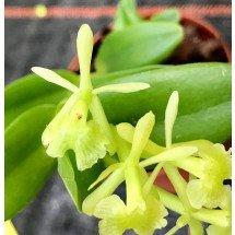 Epidendrum latilabre