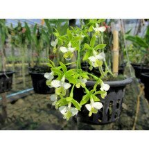 Epidendrum stamfordianum 'alba'
