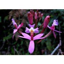 Epidendrum secundum var varigata