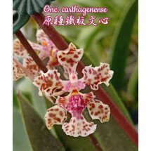Oncidium 'Lophiaris' carthagenense