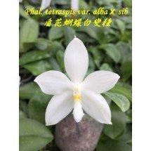 Phalaenopsis tetraspis var. alba