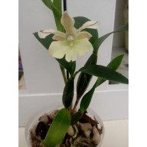 Dendrobium Nora Tokunaga x abberans