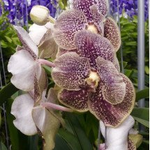 Vanda Brown Spotty 4N