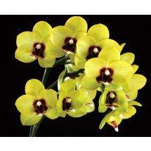 Phalaenopsis Tying Shing Ruby x Phal Taipei Gold