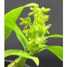Dendrobium minutiflorum