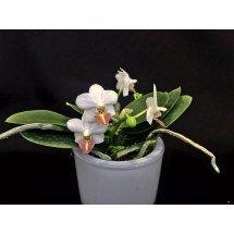 Phalaenopsis Formosa Dream (parishii x amabilis)
