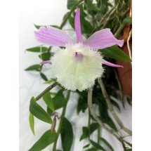 Dendrobium pierardi x loddigesii