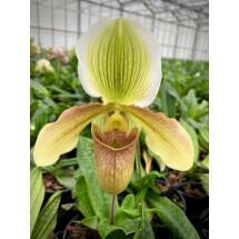Paphiopedilum tonsum x P. complex hybrid  ''Big Plant''