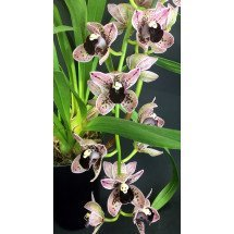 "Cymbidium Magic Devon ""Maisie"""