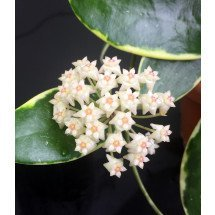 "Hoya verticillata ""Margin Variegata White-Red Fragrats'' ""Big Plant"""