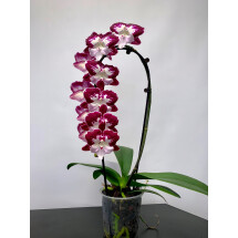 Phalaenopsis Black Widow