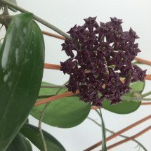 Hoya purpureo fusca