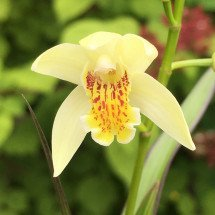 "Bletilla striata ""Yellow"""