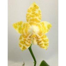 Phalaenopsis Ambonosa x Yaphon Sir Chienlung