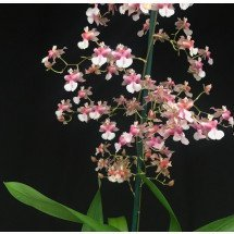 Oncidium Pink Fragrance