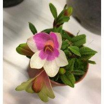 """Dendrobium cuthbersonii """"Pink-White"""""""