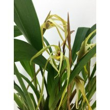 Maxillaria bradei 'Big'
