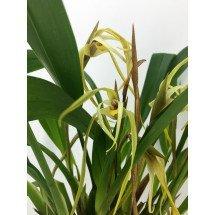 Maxillaria bradei