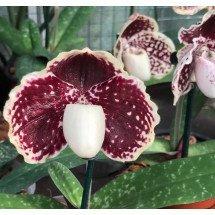 """Paphiopedilum godefroyae var. leucochilum """"Big"""""""
