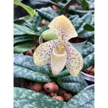 "Paphiopedilum concolor ""Big"""