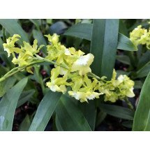 "Oncidium Misaki Obry ""Only You Yellow"""