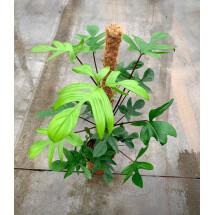 Philodendron pedatum ''Big plant'' (op mos stok 90 cm)