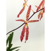 Renanthera monachica x citrina