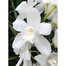 Cymbidium White Snowblossum 4N