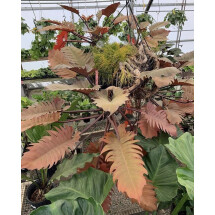 Philodendron Caramel Marble (NO Variegata!)