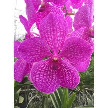 Vanda Pink Magic 4N ''Big Flower''