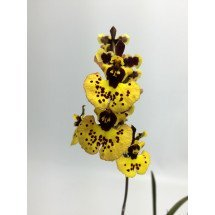 Tolumnia yellow star