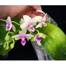 Phalaenopsis Shang-Lin's Flavorous (Phal. Timothy Christopher x Phal. violacea)