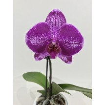 Phalaenopsis Big Singolo 'Purple'