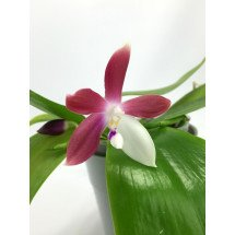 "Phalaenopsis tetraspis C1 ""Big"""