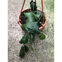 "Hoya imbricata ""Green Leaves''"