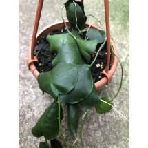 Hoya imbricata 'Green leaves'