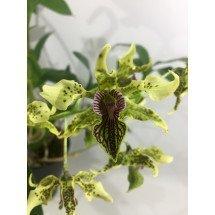 Dendrobium alexanderae x atroviolaceum