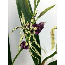 Encyclia cochleata x Anacheilium sceptrum