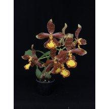 Rossioglossum splendens x (grande x schlieperianum)